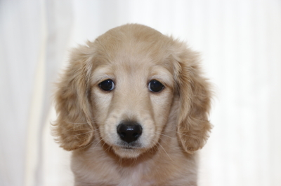ミニチュアダックスイエロー(クリーム)の子犬オス、生後7週間画像
