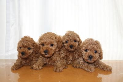 トイプードルレッドの子犬オス2頭メス2頭、生後6週間画像