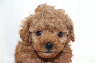 タイニープードルレッドの子犬オス、生後6週間画像