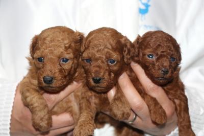 トイプードルレッドの子犬オス1頭メス2頭、生後3週間画像