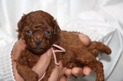 タイニープードルレッドの子犬メス、生後3週間画像