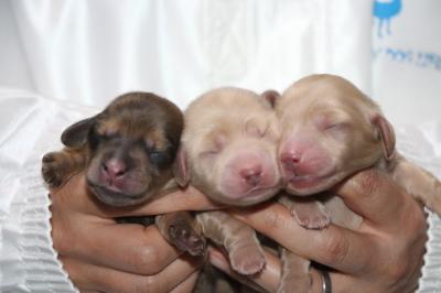 ミニチュアダックスの子犬、シェイデッドイエローオス1頭イエローメス2頭、生後3日画像