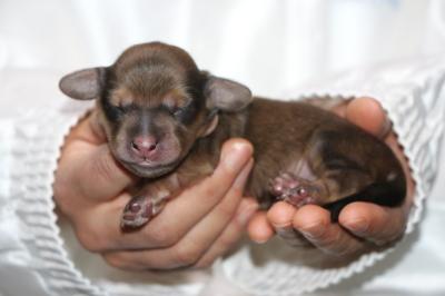 ミニチュアダックスの子犬、シェイデッドイエローオス、生後3日画像