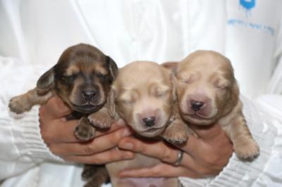 ミニチュアダックスの子犬、シェイデッドイエローオス1頭イエローメス2頭、生後1週間画像