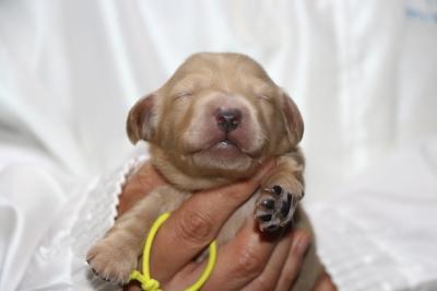 ミニチュアダックスの子犬、イエロー(クリーム)メス、生後1週間画像