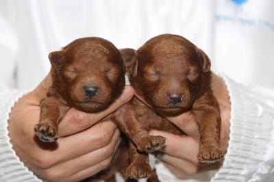 トイプードルレッドの子犬メス2頭、生後1週間画像