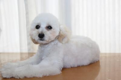 タイニープードルホワイトの子犬メス、生後5ヵ月画像