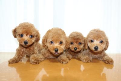 トイプードルレッドの子犬オス2頭メス2頭、生後2ヵ月画像