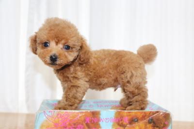 ティーカッププードルレッドの子犬オス、生後2ヵ月画像