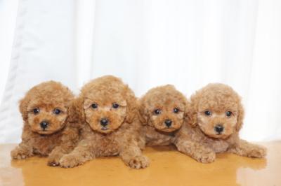 トイプードルレッドの子犬オス2頭メス2頭、生後7週間画像
