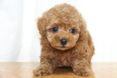 ティーカッププードルレッドの子犬オス、生後7週間画像