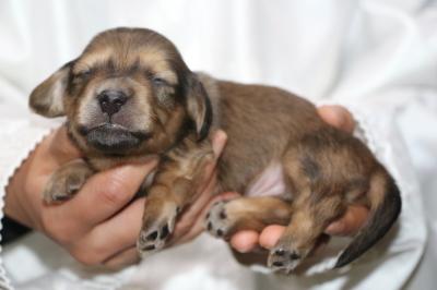 ミニチュアダックスの子犬、シェイデッドイエロー(クリーム)オス、生後2週間画像