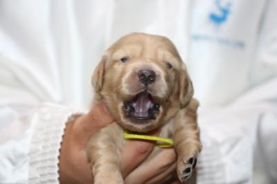 ミニチュアダックスの子犬、イエロー(クリーム)メス、生後2週間画像