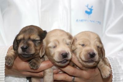 ミニチュアダックスの子犬、シェイデッドイエローオス1頭イエローメス2頭、生後2週間画像