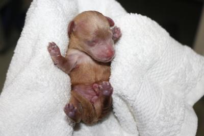 トイプードルレッドの子犬、産まれたばかり画像