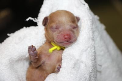 トイプードルアプリコットの子犬、産まれたばかり画像