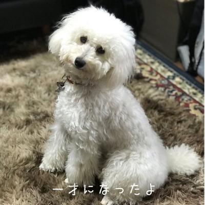トイプードルホワイト(白色)オス、東京都練馬区春太郎君画像