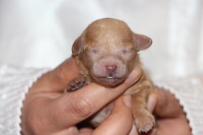 トイプードルアプリコットの子犬メス、生後3日画像
