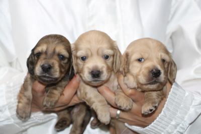 ミニチュアダックスの子犬、シェイデッドイエローオス1頭イエローメス2頭、生後3週間画像