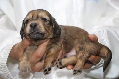 ミニチュアダックスの子犬、シェイデッドイエロー(クリーム)オス、生後3週間画像