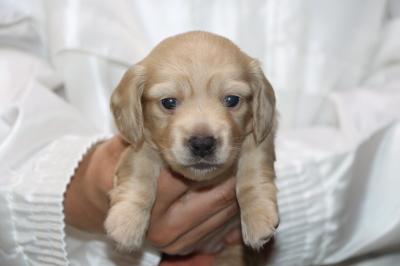 ミニチュアダックスの子犬、イエロー(クリーム)メス、生後3週間画像
