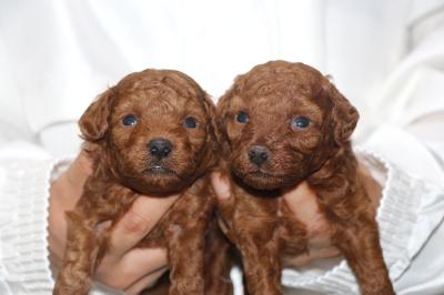 トイプードルレッドの子犬メス2頭、生後3週間画像