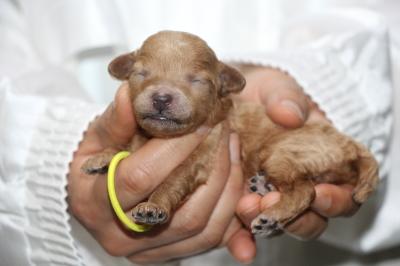 トイプードルアプリコットの子犬メス、生後1週間画像