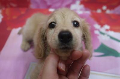 トイプードルの子犬のトリミング