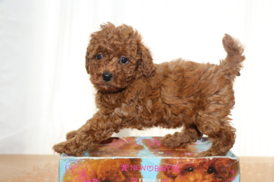 タイニープードルレッドの子犬メス、生後6週間画像