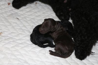 トイプードルブラックとブラウンの子犬メス、産まれたばかり画像
