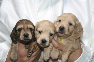 ミニチュアダックスの子犬、シェイデッドイエローオス1頭イエローメス2頭、生後4週間画像