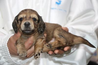 ミニチュアダックスの子犬、シェイデッドイエロー(クリーム)オス生後4週間画像