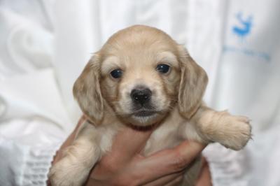 ミニチュアダックスの子犬、イエロー(クリーム)メス生後4週間画像
