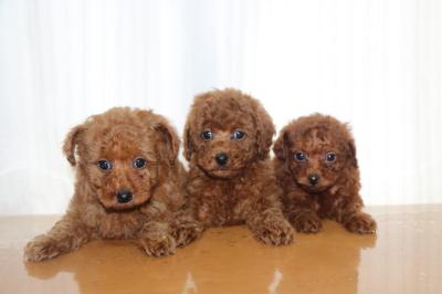 トイプードルレッドの子犬オス1頭メス2頭、生後7週間画像