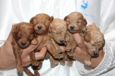 トイプードルの子犬、レッドオス1頭メス1頭アプリコットメス3頭、生後2週間画像