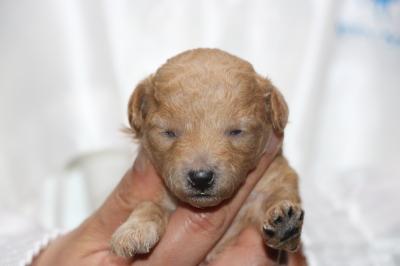 トイプードルアプリコットの子犬メス、生後2週間画像