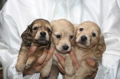 ミニチュアダックスの子犬、シェイデッドイエローオス1頭イエローメス2頭、生後5週間画像