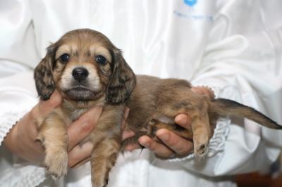 ミニチュアダックスの子犬、シェイデッドイエローオス、生後5週間画像