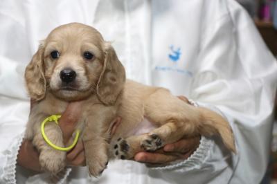 ミニチュアダックスの子犬、イエローメス、生後5週間画像