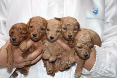 トイプードルの子犬、レッドオス1頭メス1頭アプリコットメス3頭、生後3週間画像