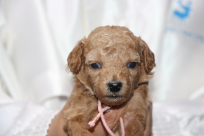 トイプードルアプリコットの子犬メス、生後3週間画像