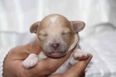 トイプードルアプリコット&ホワイトパーティーカラーの子犬メス、生後1週間画像