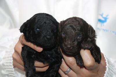 トイプードルブラック(黒色)とブラウンの子犬メス、生後2週間画像