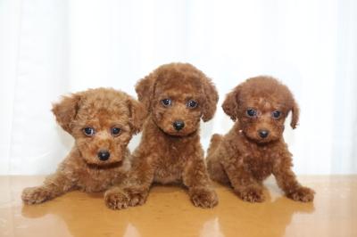 トイプードルレッドの子犬オス1頭メス2頭、生後2ヵ月画像