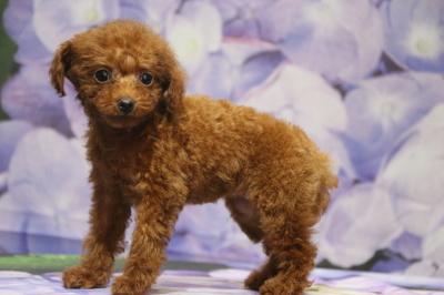 ティーカッププードルレッドの子犬メス、生後2ヵ月画像