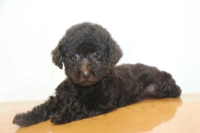 プードルブラウンの子犬メス、生後2ヵ月画像
