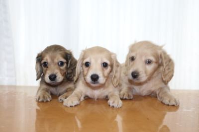 ミニチュアダックスの子犬、シェイデッドイエローオス1頭イエローメス2頭、生後6週間画像