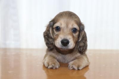 ミニチュアダックスシェイデッドイエロー(クリーム)の子犬オス、生後6週間画像