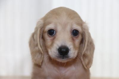 ミニチュアダックスイエロー(クリーム)の子犬メス、生後6週間画像