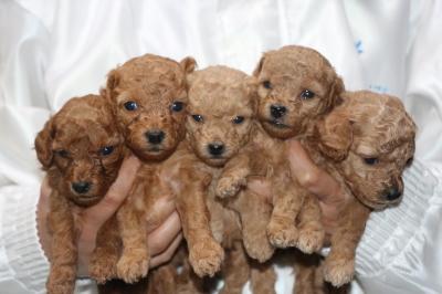 トイプードルの子犬、レッドオス1頭メス1頭アプリコットメス3頭、生後4週間画像